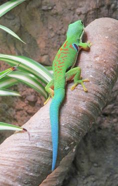 Peacock Day Gecko - Letters to Pop: 29 January 2016 - Geckos