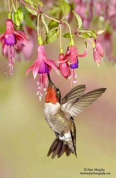 hum hum hummingbird