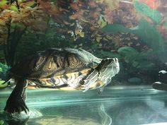 Zuriel, my turtle. just wondering about life Red Eared Slider, Tier Fotos, Adorable Animals, Turtles, Sliders, Sketches, Animales, Animals, Turtle