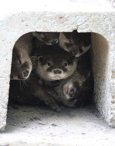 A Clown Car Has Nothing on an Otter Lair Otters Cute, Baby Otters, Animals And Pets, Baby Animals, Cute Animals, Otter Love, River Otter, Sea Creatures, Spirit Animal