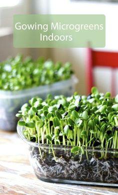 Growing microgreens indoors – The ultimate guide Indoor garden nook Gardening For Beginners, Gardening Tips, Gardening Quotes, Growing Microgreens, Growing Sprouts, Garden Nook, Homestead Gardens, Bedroom Plants, Edible Plants