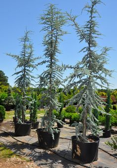 Atlas Cedar ~Denny wants for backyard~ Small Backyard Landscaping, Modern Landscaping, Backyard Patio, Evergreen Landscape, Evergreen Trees, House Landscape, Landscape Design, Michigan Trees, Blue Atlas Cedar
