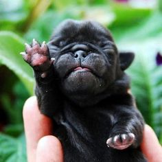 40 Adorable Pictures of Baby Animals just Born - Frenchies & Pugs - bebesanimaux Baby Animals Pictures, Pug Pictures, Cute Baby Animals, Adorable Pictures, Animals Dog, Cute Pugs, Cute Puppies, Dogs And Puppies, Doggies