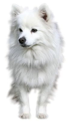 Toy American Eskimo loves to be in your company is intelligent, alert, friendly and eager to please.