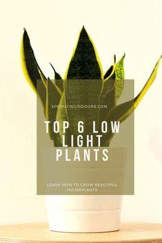 6 Best Low Light Succulents for Indoors#indoors #light #succulents Low Light Succulents, How To Water Succulents, Low Light Plants, Indoor Succulents, Succulent Species, Succulent Soil, Plant Species, Repotting Succulents, Growing Succulents