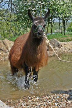 Vogelsberglamas - Lama und Eselausbildung