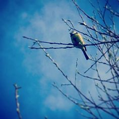 I love birds... Believe this one is still a baby looked all fluffy when I saw it this morning.. #birds #love #spring #nature #animals #tree #blue #picoftheday #sky #pretty #beautiful