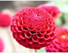 dahlia_flower_inspire