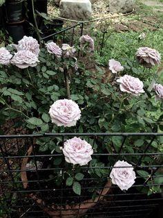 Rose jp.