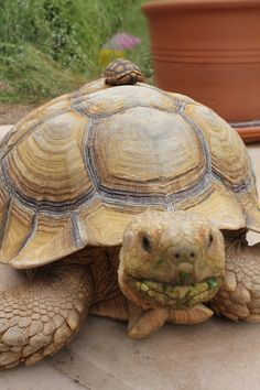 My tortoise named Bunny...and one of his hatchlings.