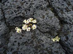 http://geologywriter.com/wp-content/gallery/basalt/dsc00424.jpg - Confession of a basalt addict    Plant in Basalt - Iceland