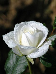 White rose flower meaning,white rose flower, white rose symbolic, White Flowers White Rose Meaning - Without vibrant color to upstage it. Amazing Flowers, Beautiful Roses, My Flower, White Flowers, Red Roses, Beautiful Flowers, Send Flowers, Flower Bouquets, Beautiful Soul