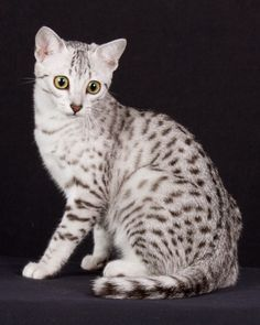 Egyptian Mau. Silvers are the best!