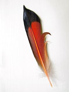 Northern Flicker Tail Feather Photograph  - Northern Flicker Tail Feather Fine Art Print