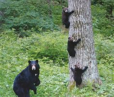 To see Black Bears in the wild!!! And we did last week in Alaska it was truly an amazing sight never to be forgotten.
