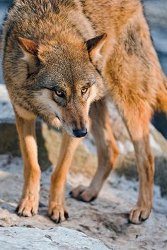 ☀Crooked wolf, by Tambako The Jaguar