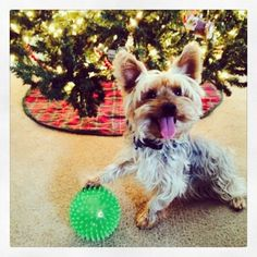Chester found an early Christmas gift. Yorkie Yorkshire Terrier