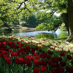 #Kuekenhof#Netherlands by ghulya4