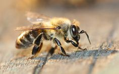 This is the species of bee I'd like to be featured