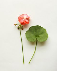<3 geranium