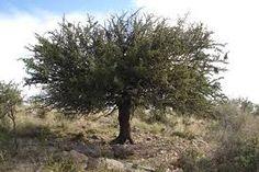 Resultado de imagen para arboles de chile y sus caracteristicas