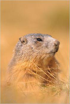 Alpenmurmeltier (Marmota marmota) by Michael Smit