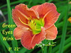 Green Eyes Wink - (Nolen, 1982) height 22in (56cm), bloom 3.25in (8.3cm), season EM, Rebloom, Dormant, Diploid,  Red self with green throat.