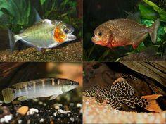 Peixes Da Amazonia / Peces del Amazonas.