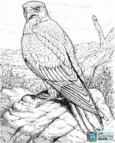 Hawk Raptor Super Coloring Wood Burning Pencil Drawings Bird Pertaining To Hawk Bird Coloring Pages Owl Coloring Pages, Free Printable Coloring Pages, Coloring Books, Printable Crafts, Printables, Hawk Bird, Bird Drawings, Pencil Drawings, Easy Watercolor