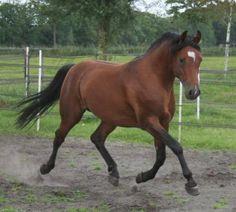 Fhj Alexander - Stallion Directory