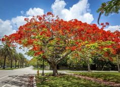 Poinciana Trees - Southwest Florida The Royal Poinciana tree grows in tropical destinations around the world, but it's perhaps most associat...