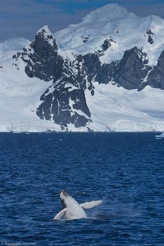We spotted this Humpback Whale breaching right by our ship while we were in Antarctica... Such a rare sight. It was absolutely spectacular!