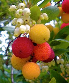 Irish Strawberry tree fruit (Arbutus unedo) is an evergreen shrub or small tree native to the Mediterranean region of Europe, name 'Medronho'. Fruit And Veg, Fruits And Vegetables, Fresh Fruit, Colorful Fruit, Weird Fruit, Strange Fruit, Fruit Flowers, Fruit Trees, Exotic Plants