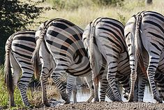 Photo about Zebra drinking with their rumps exposed. Image of grassland, bush, landscape - 43706409 Drinking, Southern, Africa, Stock Photos, Animals, Image, Drinks, Animales, Drink