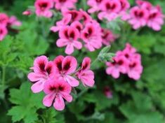 Great in window boxes, hanging baskets, pots or the garden, geraniums are low-maintenance plants. Grow these perky flowers for color from spring until frost; they prefer full sun, but may need some afternoon shade in hot regions.