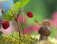 Snail doing everything in its power to reach that raspberry. Fortunately they succumb to beer like slugs. Just use a larger, deeper container and bury it partially. Ring the dish with Diatomaceous Earth, it will slice open its under skin. This will help it to fall into the beer and drown. Use cheap beer.