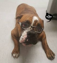#throwbackthursday to when we got Henry to wear glasses to promote FREE eye checks for our @greatwesternanimalhospital patients. We are assisting researchers from the University of Sydney in looking at how we can better diagnose and manage eye and vision-impairing diseases in dogs and cats.  Henry is the gorgeous furbaby to one of my nurses. He was paid for his fabulous modeling skills with treats and cuddles.  #vet #vetlife