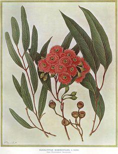 illustration: Eucalyptus sideroxylon (Mugga Ironbark)
