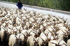 A shepherd leading a herd of Racka sheep