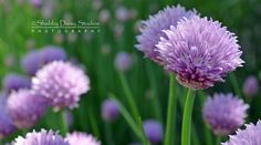 Blooming Chives in Purple