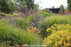 flowering perennials (Verbena, Euphorbia, Knifophia) in tall grass California meadow garden