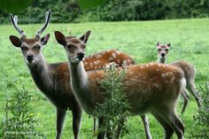 Species of Deer in Ireland. The Fallow is the only type of deer in the magical town of Ballyyahoo. There are others in Ireland. Click now to read about them. Fallow Deer, Stories For Kids, Ireland, Irish, Type, Children, Animals, Young Children, Stories For Children