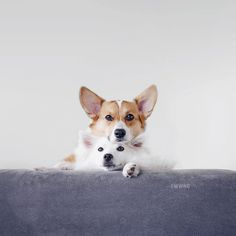 Happiness is being home sweet home with these two after a long long vacay! Cute Corgi, Corgi Dog, Homeless Dogs, Pembroke Welsh Corgi, Dog Photography, Dog Quotes, Beautiful Dogs, Dog Friends, Funny Dogs
