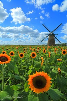 "#Windmill and ""Sunflowers - Chiba, #Japan via PHOTOHITO "" ❤️ - http://dennisharper.lnf.com/"