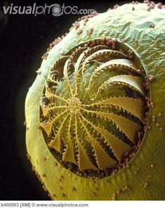 Colored SEM of moss (funaria sp) spore capsule