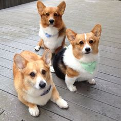 Corgi Family - just like kids - if you're doing for one you mine as well do for three!  :)