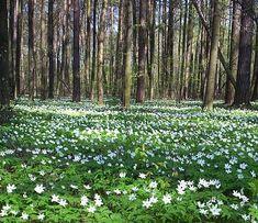 Anemone nemorosa (wood anemone) in forest near Radziejowice. Beltane, What A Wonderful World, Beautiful World, Types Of Flowers, Wild Flowers, Spring Flowers, Wood Anemone, Woodland Flowers, Spring Time