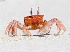 Red ghost crab - quite obviously the inspiration for Monsier Krabs.