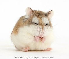 1030 best hamsters just like lila simba images in 2018