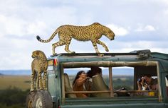 Third Place: Say cheese  Cheetahs jumped on the vehicle of tourists in Masai Mara national park, Kenya.  Photo and caption by Yanai Bonneh/National Geographic Traveler Photo Contest